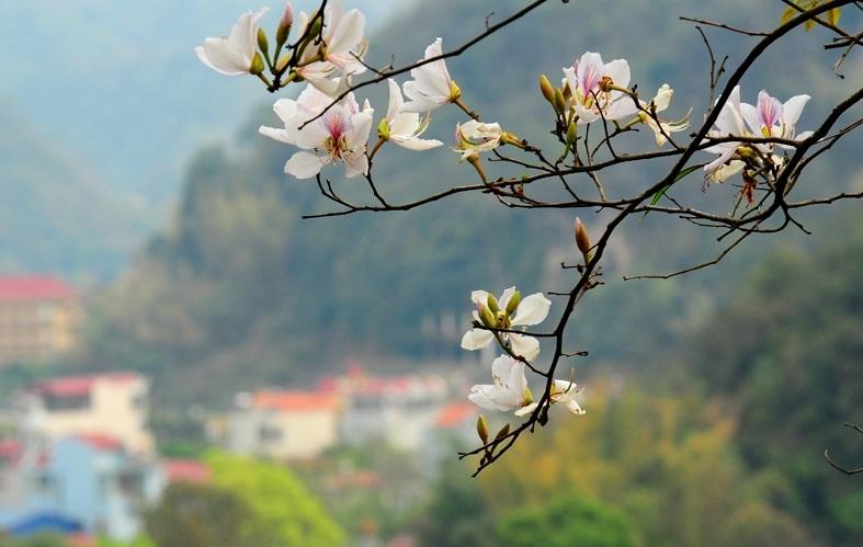 ý nghĩa các loài hoa, tên tiếng anh, hoa ban