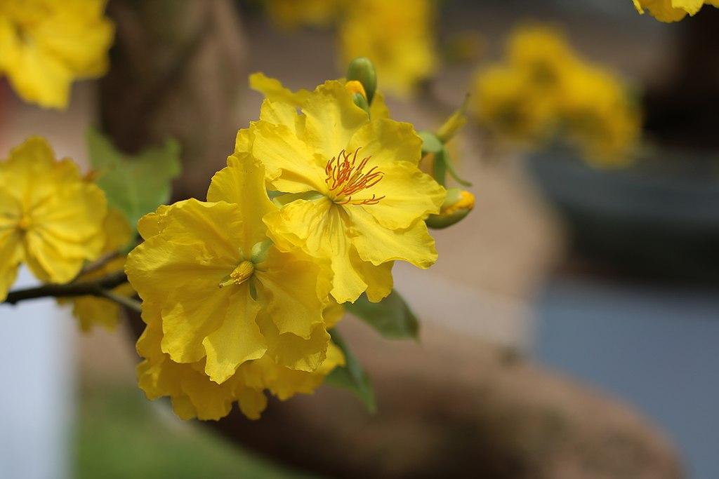 hoa mai, ý nghĩa các loài hoa, tên tiếng anh